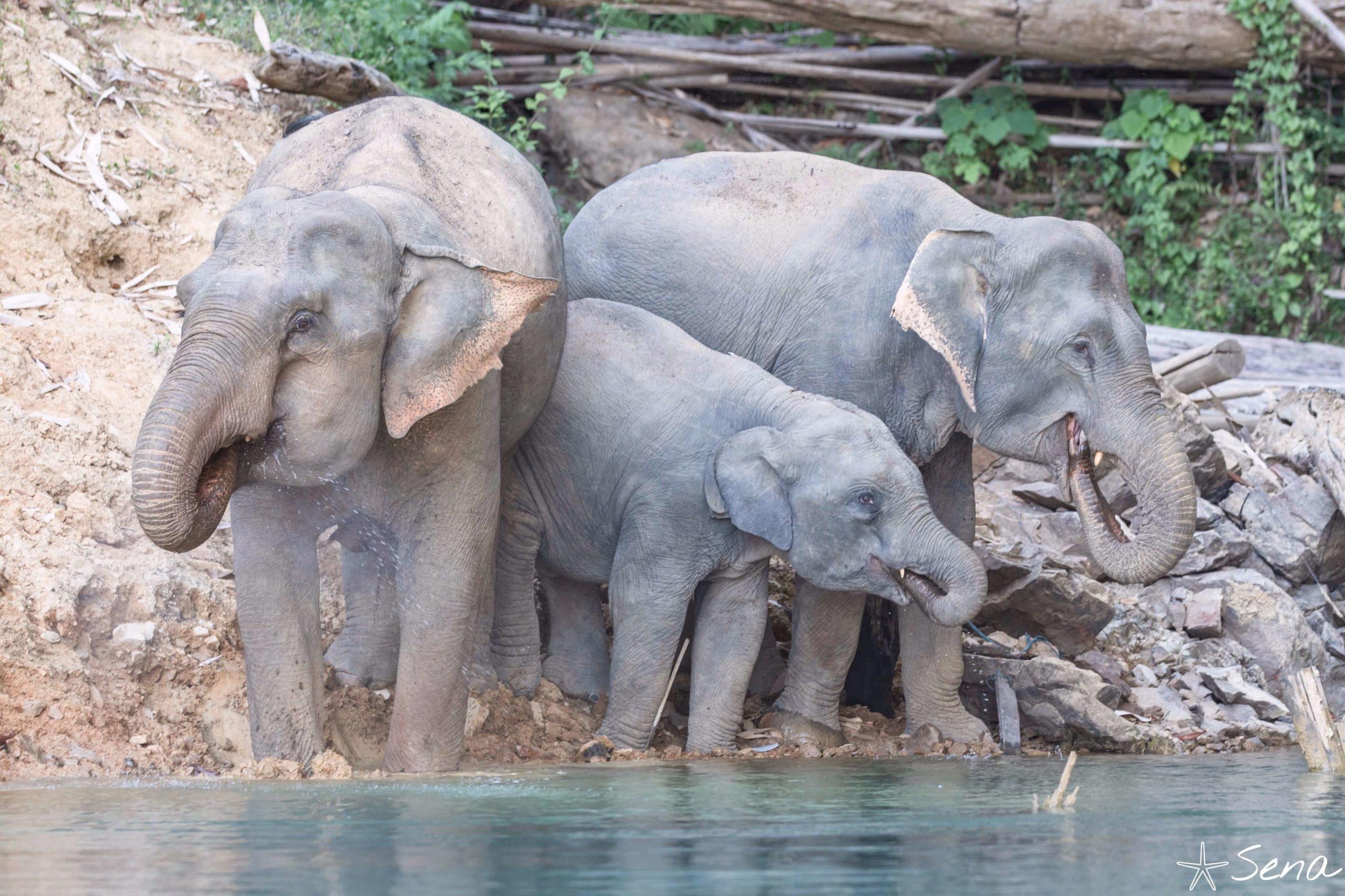カオソック国立公園 野生の象